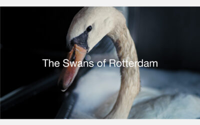 The Swans of Rotterdam
